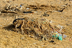 Remains of bags and plastics from the contents of a Cow's stomach, although the body has decomposed the plastics remain, Thar desert, Rajasthan, India. - Enrique Lopez-Tapia