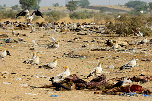 Egyptian Vultures (Neophron percnopterus) with egrets and corvids in a cow cemetery on the outskirts of Bikaner, Rajasthan, India.  -  Enrique Lopez-Tapia