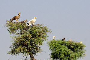 Egyptian Vultures (Neophron percnopterus). Adult (white) and juvenile (dark). Rajasthan, India, October 2018.  -  Enrique Lopez-Tapia