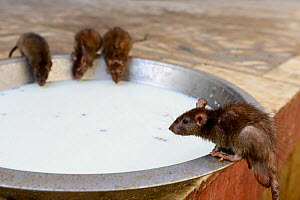 Sacred Black rats (Rattus rattus) drinking milk at Karni Mata Temple, known as the 'temple of rats', Rajasthan, India, October 2018.  -  Enrique Lopez-Tapia