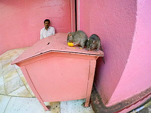 Sacred Black rats (Rattus rattus) feeding at Karni Mata Temple, known as the 'temple of rats', Rajasthan, India, October 2018.  -  Enrique Lopez-Tapia
