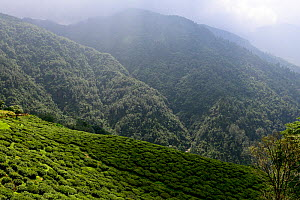 Tea fields in the Darjeeling mountains, West Bengal, India. October. - Enrique Lopez-Tapia