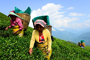 Women picking Tea (Camelia sinensis) leaves by hand in organic tea fields, Temi Tea Garden, Sikkim, India, October 2018. - Enrique Lopez-Tapia