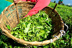 Women picking organic Tea (Camelia sinensis) leaves by hand Organic tea fields, Temi Tea Garden, Sikkim, India, October 2018.  -  Enrique Lopez-Tapia