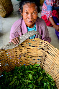 Women with hand picked tea leaves from organic Tea (Camelia sinensis) fields, Temi Tea Garden, Sikkim, India, October 2018.  -  Enrique Lopez-Tapia