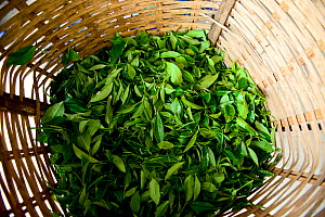 Basket with Tea (Camelia sinensis) leaves selected manually. Organic tea fields, Temi Tea Garden, Sikkim, India, October 2018.  -  Enrique Lopez-Tapia