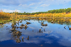 Delamere Forest showing dead tree stumps in part of Blakemere Moss reflooded in 1998 after failure of tree planting and after clear felling of the trees. Cheshire, UK, November 2018. - Alan  Williams