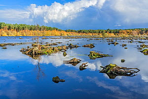 Delamere Forest showing dead tree stumps in part of Blakemere Moss reflooded in 1998 after failure of tree planting and then clear felling of the trees, Cheshire, UK, November 2018. - Alan  Williams
