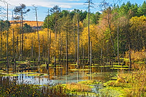 Dead Pool showing trunks of drowned trees, Delamere Forest, Cheshire, UK, November 2018 - Alan  Williams