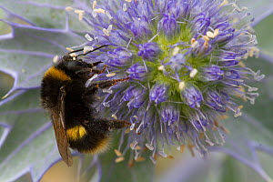 Honey bee (Apis mellifera) on Sea holly (Eryngium) Wales, UK, July. - David  Woodfall