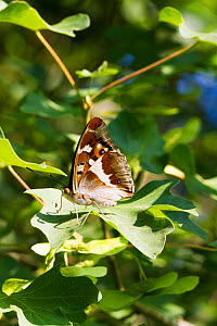 Purple emperor butterfly (Apatura iris) male on field maple hedge. Knepp Rewildling Estate, Sussex, England, UK.  -  David  Woodfall