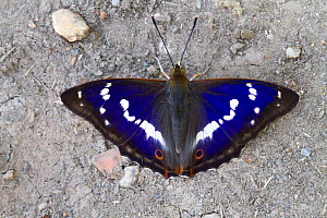 Purple emperor butterfly (Apatura iris) male basking on ground. Knepp Rewildling Estate, Sussex, England, UK.  -  David  Woodfall
