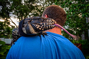 Florida resident Devin Belliston holding his pet Argentine black and white tegu (Salvator merianae) 'Rock'. Tegus are an invasive species in Florida, Rock was wild caught as a yearling, Florid... - Karine Aigner