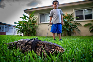Five year old boy walking his pet Argentine black and white tegu (Salvator merianae) 'Rock' on his shoulder. Rock was wild caught as a yearling in Florida, however this species is invasive in... - Karine Aigner