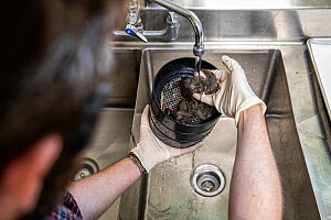Biologists sift through Burmese pythons (Python bivittatus) faeces to see what invasive pythons are eating. Florida, USA, July 2018.  -  Karine Aigner