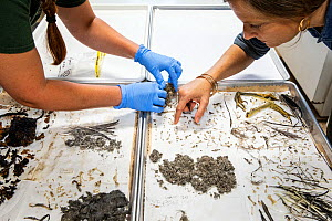 Christina Romagosa (right), Research Assistant Professor, University of Florida and her team of Python researchers looking through over the stomach contents of different snakes including invasive Burm...  -  Karine Aigner