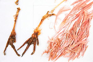 Stomach contents of invasive Burmese pythons (Python bivittatus) are separated and laid out on sheets in order to identify them. Some of the contents seen here are the feet and feathers of a Roseate s...  -  Karine Aigner