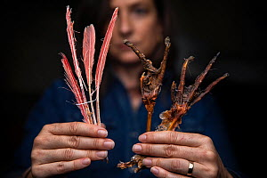 Portrait of Christina Romagosa, Research Assistant Professor, University of Florida, holding a feet and feathers of a Roseate spoonbill (Platalea ajaja) found in the stomach of a Burmese python (Pytho...  -  Karine Aigner