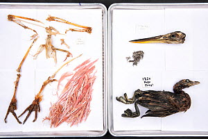 Stomach contents of Burmese pythons (Python bivittatus) are separated and laid out on sheets in order to identify them. Some of the contents seen here from varying snakes are Roseate spoonbill, Pied b...  -  Karine Aigner