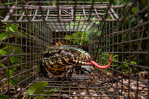 Argentine black and white tegu (Salvator merianae) caught in a trap set by the University of Florida, Florida, USA. Tegus are an invasive species in Florida. August 2018. - Karine Aigner