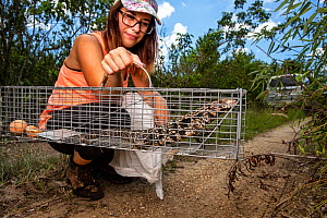 Graduate student Jenna Cole, University of Florida, holds an invasive Argentine black and white tegu (Salvator merianae) that has been trapped and will be euthanased, Florida, USA. August 2018.  -  Karine Aigner