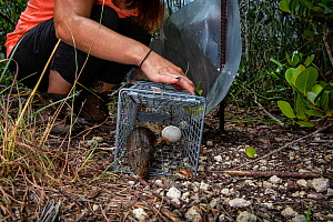 Cotton rat (Sigmodon hispidus) being released from a trap used to capture invasive Tegus, Florida, USA. August 2018. - Karine Aigner