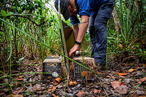 Graduate student and biological technician Sarah Cooke of the University of Florida baits an Argentine black and white tegu (Salvator merianae) trap with an egg, and a potato (so that in the event tha...  -  Karine Aigner