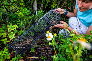 Graduate student and biological technician Emily Gati of the University of Florida, preparing to release a juvenile Argentine black and white tegu (Salvator merianae) from a trap. Florida, USA. Tegus...  -  Karine Aigner