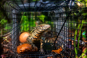Argentine black and white tegu (Salvator merianae) juvenile, caught in a trap set by the University of Florida. Florida, USA. Tegus are an invasive species in Florida. August 2018.  -  Karine Aigner