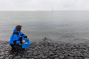 Rescue worker of releasing a Guillemot (Uria aalge) on the coast of Texel, The Netherlands, February 2019. - Theo  Bosboom