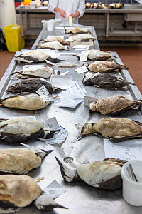 Dead guillemots that have washed up along the Dutch North sea coast in January / February 2019 prepared for an investigation by researchers at the Universities of Utrecht and Wageningen.Netherlands. F... - Theo  Bosboom