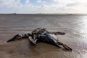 Dead guillemot washed up at the beach of Texel in the Netherlands. An estimated number of 20.000 guillemots died in January/February 2019 in the Netherlands. The cause is being investigated by scienti... - Theo  Bosboom