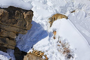 Snow leopard (Panthera uncia) female (hiding below the rock) with her two juveniles resting in snow, in Spiti Valley, Cold Desert Biosphere Reserve, Himalaya, Himachal Pradesh, India, March - Oriol  Alamany
