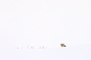 Snow leopard (Panthera uncia) male in snow, in Spiti Valley, Cold Desert Biosphere Reserve, Himalaya, Himachal Pradesh, India, March  -  Oriol  Alamany