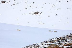 Snow leopard (Panthera uncia) female with her two juveniles walking in snow, in Spiti Valley, Cold Desert Biosphere Reserve, Himalaya, Himachal Pradesh, India, March - Oriol  Alamany