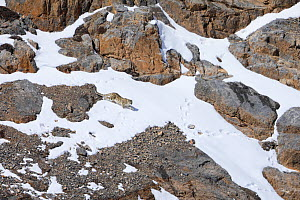 Snow leopard (Panthera uncia) juvenile walking in snow, in Spiti Valley, Cold Desert Biosphere Reserve, Himalaya, Himachal Pradesh, India, March - Oriol  Alamany