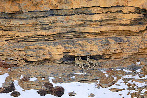 Snow leopard (Panthera uncia) female with her two juveniles, sniffing a territorial mark in a rock, in Spiti Valley, Cold Desert Biosphere Reserve, Himalaya, Himachal Pradesh, India, March - Oriol  Alamany