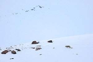 Snow leopard (Panthera uncia) walking in snow, in Spiti Valley, Cold Desert Biosphere Reserve, Himalaya - Oriol  Alamany