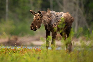A young moose (Alces alces) with a condition known as 'ghost moose' which is caused by heavy tick infestation, New Brunswick, Canada. August  -  Nick Hawkins