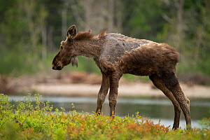 A young moose (Alces alces) with a condition known as 'ghost moose' which is caused by heavy tick investations. New Brunswick, Canada. August  -  Nick Hawkins
