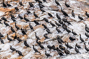 Doube-crested cormorants (Phalacrocorax auritus) roosting on the Bird Islands off Cape Dauphin, Nova Scotia, Canada. July.  -  Nick Hawkins