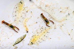 Larval American lobster (Homarus americanus) and various larval fish species obtained from a plankton sample in the Gulf of Saint Lawrence, Canada. June - Nick Hawkins