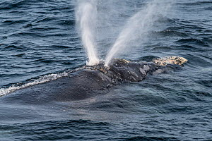 The unique v-shaped blow of a North Atlantic right whale (Eubalaena glacialis) created by the two nostrils being set at angles to eachother. Gulf of Saint Lawrence, Canada. IUCN Status: Endangered. Ju...  -  Nick Hawkins
