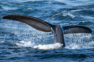 North Atlantic right whale (Eubalaena glacialis) tail fluke, diving to feed in the Gulf of Saint Lawrence, Canada. Endangered species. July  -  Nick Hawkins