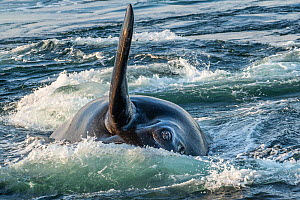 North Atlantic right whale (Eubalaena glacialis) peers out of the surface as it competes with other males for access to a female. Gulf of Saint Lawrence, Canada. Endangered. July - Nick Hawkins