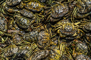 Invasive European green crabs (Carcinus maenas) collected by park staff in Kejimkujik Seaside National Park near Port Joli, Nova Scotia, Canada. July.  -  Nick Hawkins