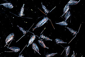 Live copepods (Calanus finmarchius) displayed on a microscope slide and photographed at the Bedford Institute of Oceanography, in Halifax, Nova Scotia, Canada. - Nick Hawkins