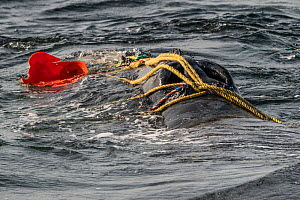 Fishing ropes wrap over the blowhole of a severely entangled North Atlantic right whale (Eubalaena glacialis) in the Gulf of Saint Lawrence, Canada. Fishing gear entanglement is a leading cause of dea... - Nick Hawkins