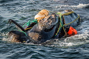 Fishing ropes wrap around the head and mouth, damaging the baleen of a severely entangled North Atlantic right whale (Eubalaena glacialis) in the Gulf of Saint Lawrence, Canada. Fishing gear entanglem...  -  Nick Hawkins