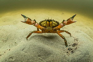 European green crab (Carcinus maenas), an invasive species in North America, Kejimkujik Seaside National Park, Nova Scotia, Canada. July.  -  Nick Hawkins
